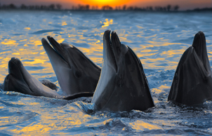 Bottlenose dolphins frolic in the sunset light