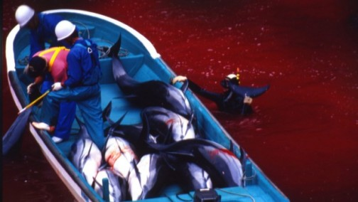 Australian-group-forces-Japanese-aquariums-to-stop-buying-dolphins-caught-in-harrowing-chase_1