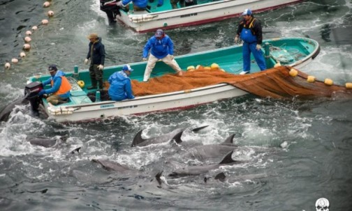 Japanese-aquariums-vote-to-stop-buying-Taiji-dolphins-The-Guardian_1