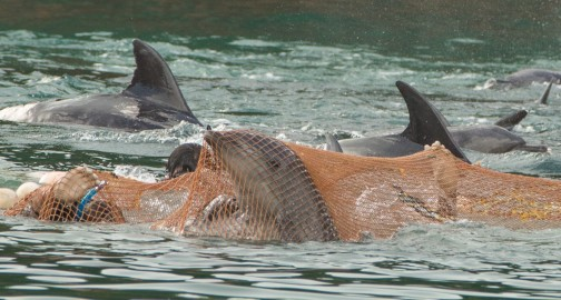 Lawsuit-forces-worlds-peak-zoo-body-to-suspend-dolphin-hunting-aquariums_1