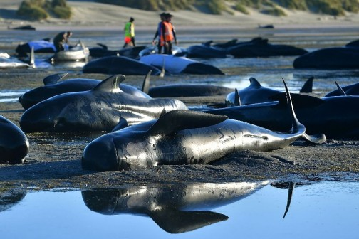 New-Zealand-beached-whale-crisis-over-say-rescuers_1