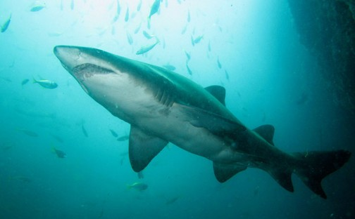 Queenslands-Shark-Control-Program-Has-Snagged-84000-Animals_1